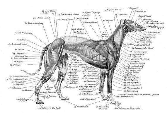 u0026quot greyhound u0026quot  skeleton diagram
