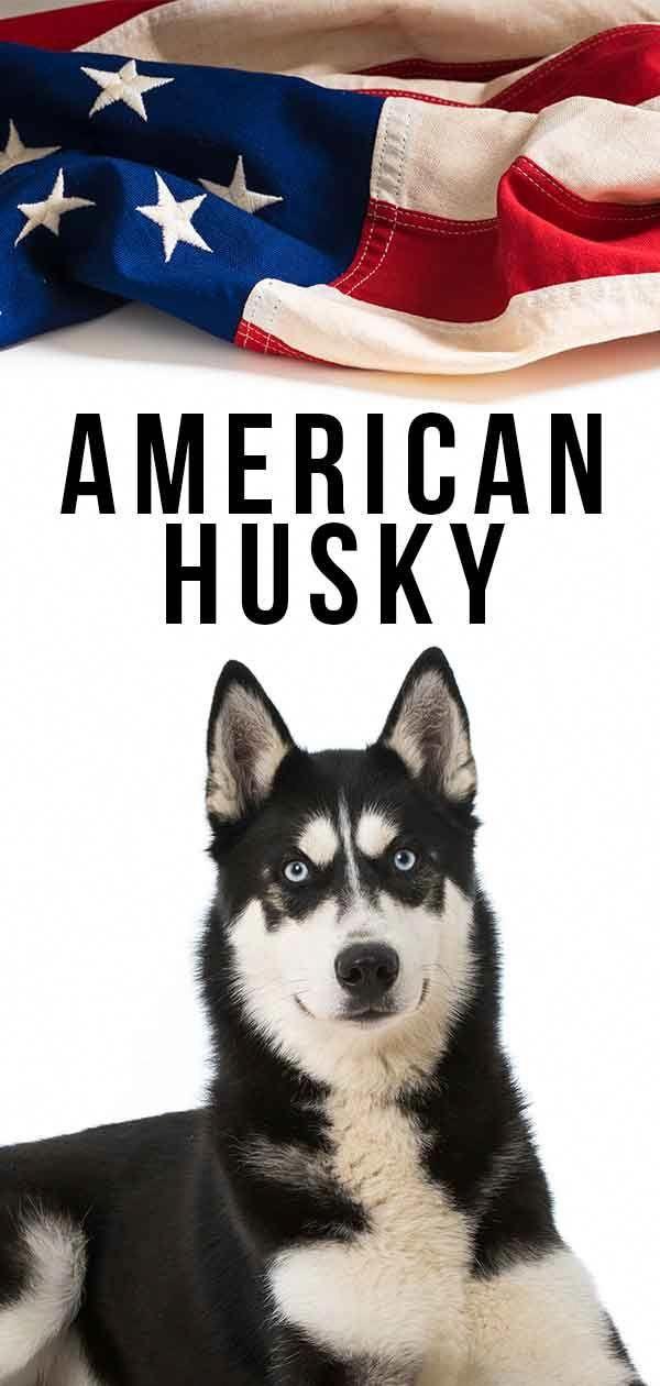 Siberian Husky Training American Husky Husky Siberian Husky