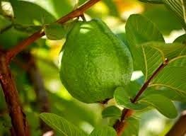 Medicinal Plants and Their Uses: Guava