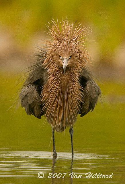 Reddish Egret Sporting a New Do