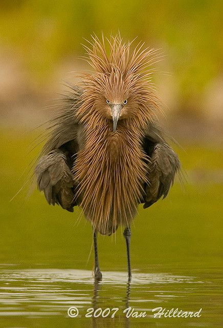 Egret...looking like a character from the Middle Earth!