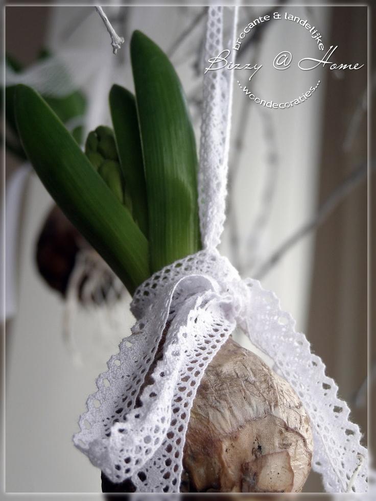 lace - hyacint