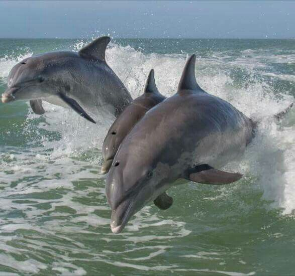 Researchers Have Long Studied The Clicks Chirps And Other Calls That Dolphins Make In An Effort To Understand How These Intelligent Mammals Communicate