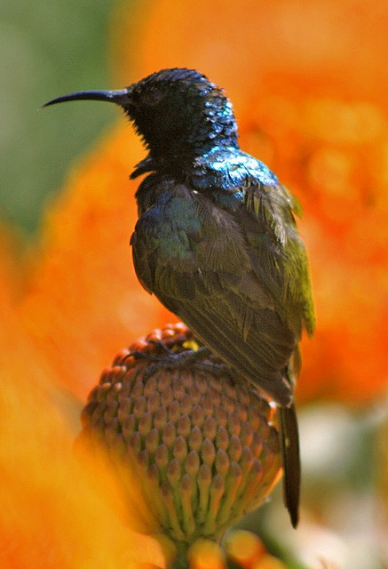 Orange breasted sunbird, Cape Town, South Africa