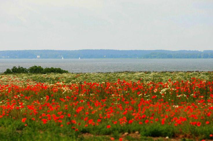 Mazury, Polska. Łąka kwitnących maków nad Jeziorem Śniardw