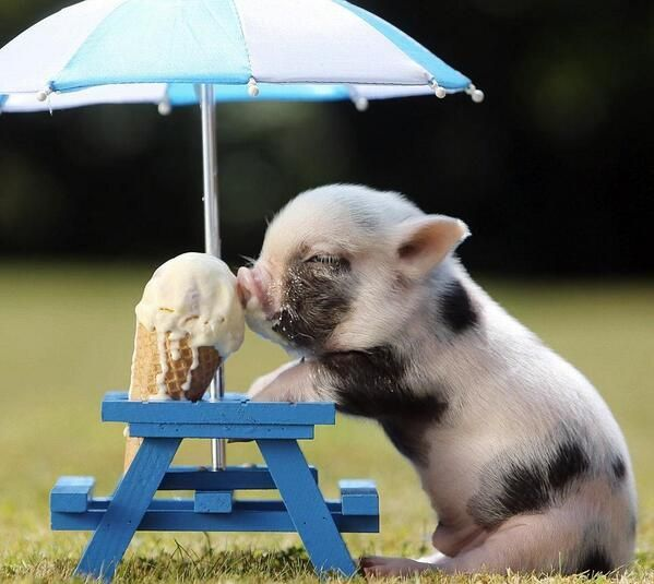 Baby pig eating ice   cream!