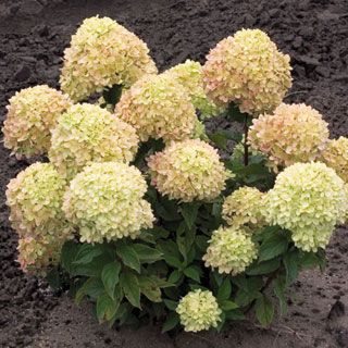 panticulata little lime dwarf hydrangeas lime and vintage pink