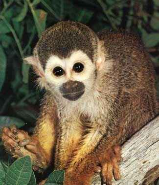 Squirrel monkey, live in groups of 10-70 or as many as 100-300