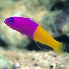 17 best images about saltwater fish on pinterest for Lifespan of a betta fish in captivity