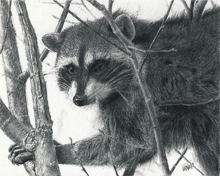 275 best images about RACCOONS- DRAWINGS AND PAINTINGS OF ... Raccoon Drawing