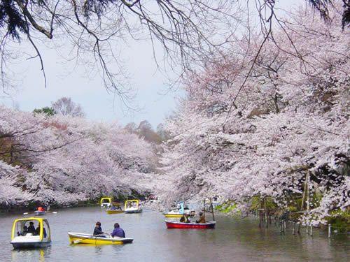 多摩の桜・お花見情報-井の頭恩賜公園(いのかしらおんしこうえん)