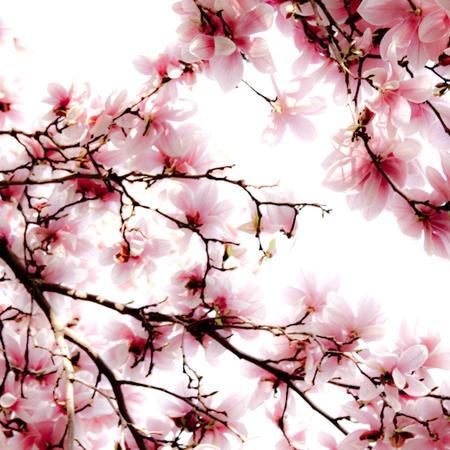 Magnolias, Central Park today