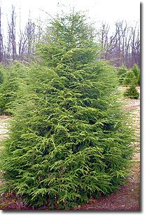 Canadian Hemlock - Looking to plant 3 of these in the back to block the view in the winter and to provide a habitat for the birds.
