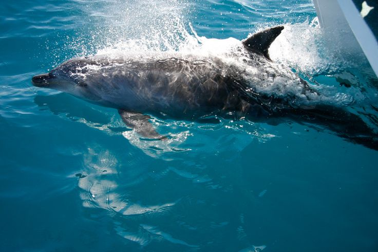 Beautiful dolphin competes with the whales for our attention in Hervey Bay Queensland