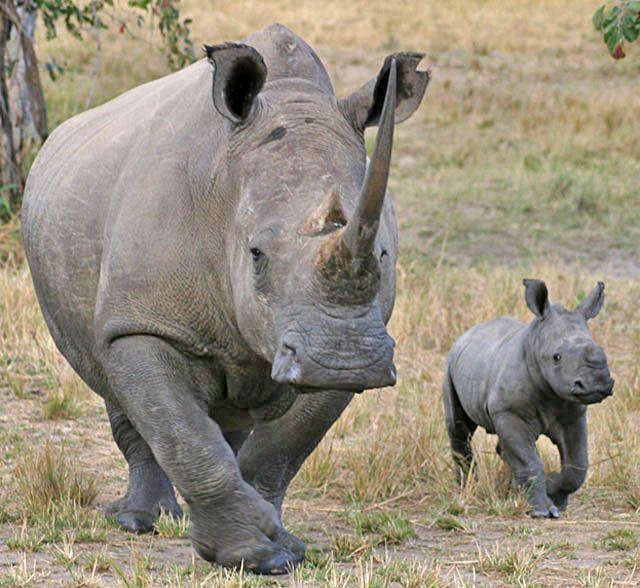 Wildmoz.com-White-Rhino-Animals-of-the-Kruger-Park