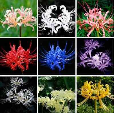 Free Shipping Mix Color 100 Seeds Lot Lycoris Radiata Spider Lily Seeds | eBay