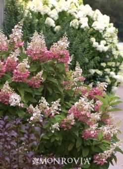 Paniculata 'Pinky Winky' 7x7' blooms turn from white to pink