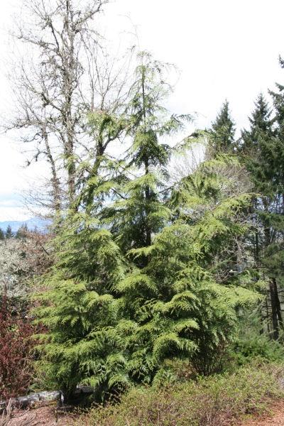 Cedar Tree Pictures, Red Cedar Tree