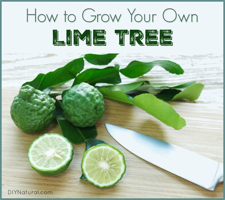 Kaffir lime leaves are useful in many ways! Though native to the tropics, you can grow the thorny tree north of the topics, and we're about to show you how!