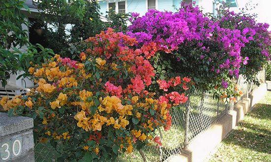 3 Bougainvill Es Sur Un Grillage Fleurs Pinterest