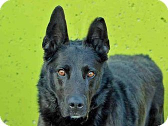 Denver, CO - Australian Shepherd/German Shepherd Dog Mix. Meet CHANCE, a dog for adoption. http://www.adoptapet.com/pet/17549711-denver-colorado-australian-shepherd-mix