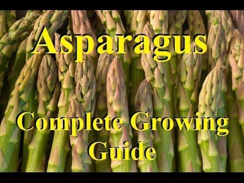 How To Grow Asparagus - Complete Growing Guide - YouTube
