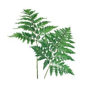 leather leaf - this is the only fern Charlotte has liked due to it looking like ferns you might see in a wood.