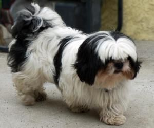 Mai Tai is an adoptable Shih Tzu Dog in Downey, CA. Mai Tai - Male - 2 yrs old - Black and White - 11lbs Rescued from Downey-Garfield shelter...