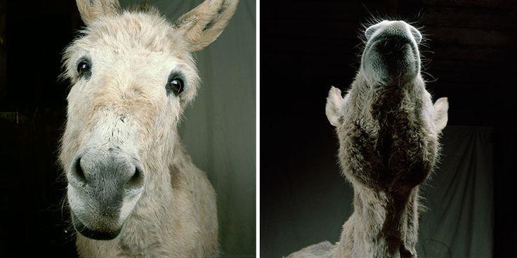 farm-animal-portraits-rob-macinnis-23