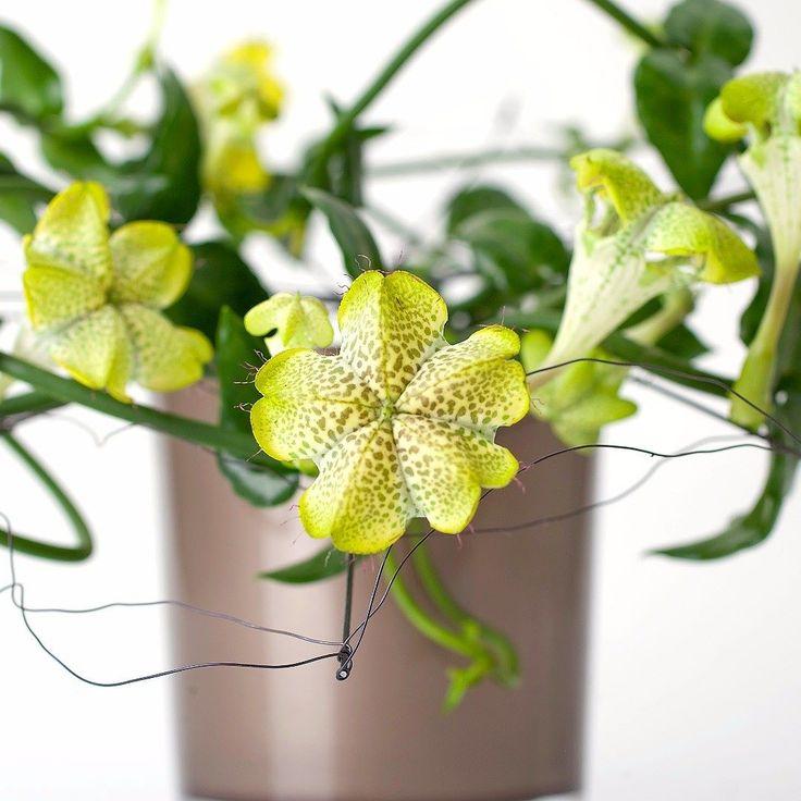 Esernyős gyertyavirág (Ceropegia sandersonii) #szobanoveny Mutatós tölcsérre emlékeztető zöldes színű virágokat hozó kúszó növekedésű pozsgás növény mely ékes dísze lehet otthonunknak. Felfuttatva vagy ámpolna cserépben felakasztva is szépen mutat a lakásban. A napos meleg helyeket kedveli a szobai körülményeket jól viseli.