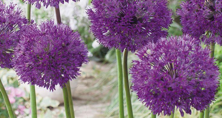 Kirgisløk, Purple Sensation, blomstrer: sept/okt Løk Planteavstand cm: 20 Høyde: 70-100 cm. Sol til halvskygge