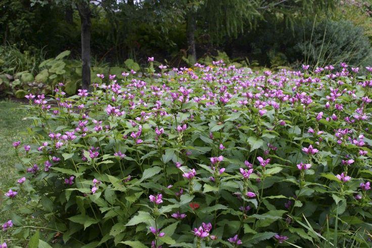 Chelone obliqua  Seizoen 7-9 hoogte 60 plantafstand 35