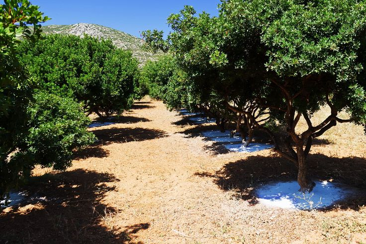 Mastic Trees in Chios