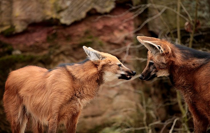 Maned wolves © iStock / Getty Images