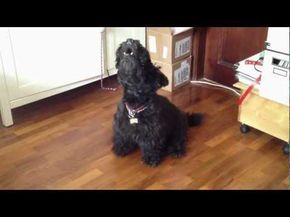 Max the Singing Scottish Terrier - our Scotties howl along with Max when we play this!