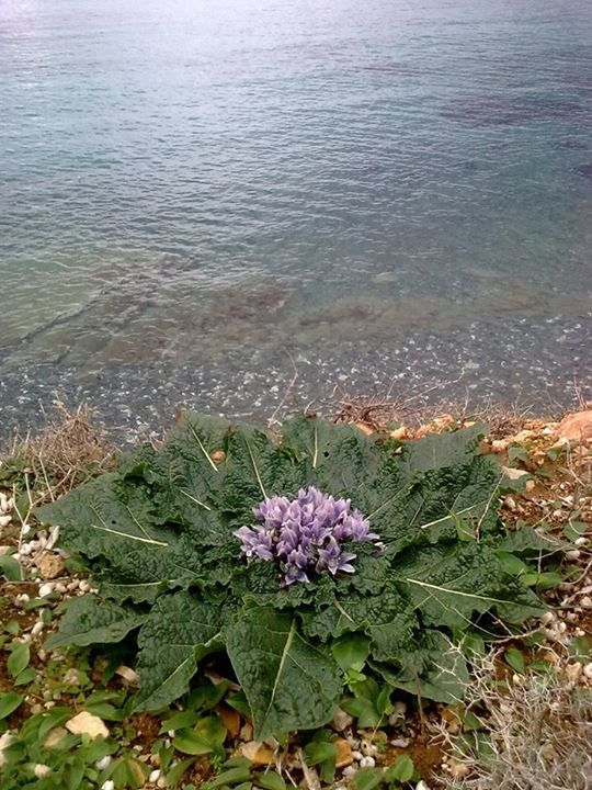 Blooming season on #Paros Island for Mandrake plants (genus: Mandragora). Beautiful but toxic! #wildflowers #greece