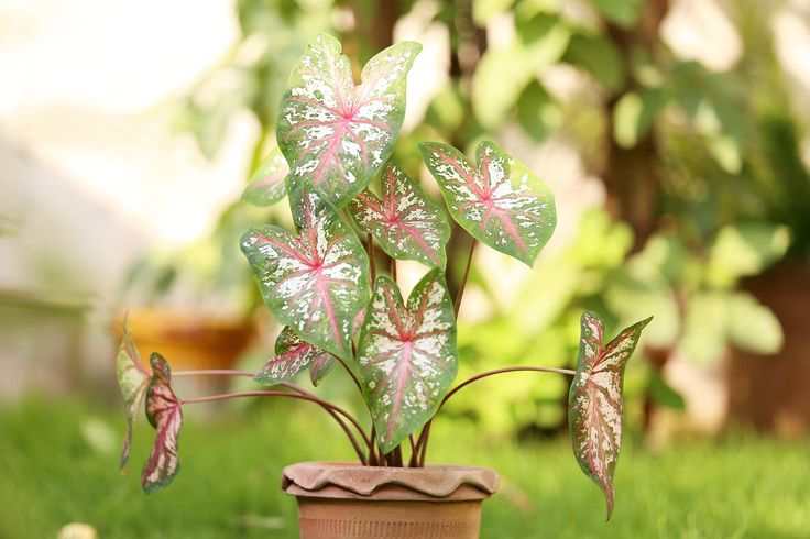 Caladium plants grown for their leaves/colors https://www.youtube.com/watch?v=HGMi5QFwbeI