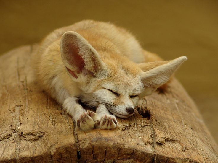 Fennec foxes, native to North Africa and the Sahara desert, are distinguished by their large ears, which serve to dissipate their body heat. These ears give them such good hearing that they can even hear their prey moving under the sand. Their cream-colored fur helps them deflect heat during the day and stay warm at night. (Image credits: animalgalleries.org) via BoredPanda