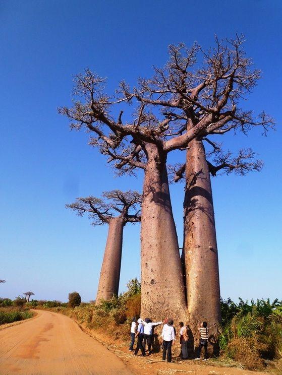 双子バオバブ。物語「星の王子さま」にも出てくる不思議な木、バオバブ。マダガスカルのバオバブ街道の画像を集めました。