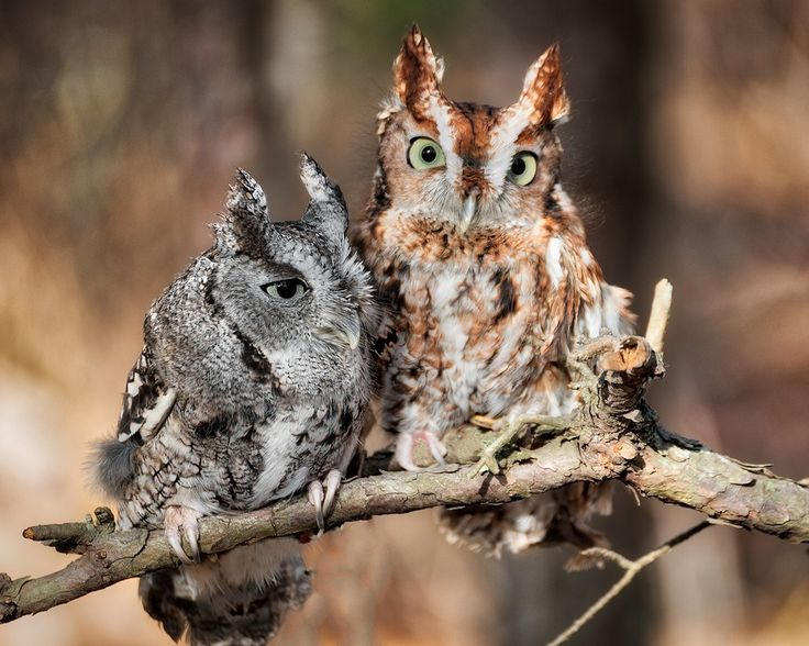 Screech Owl Couple