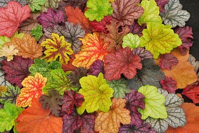 Heucheras are a dog friendly way to add rich vibrant colours to your foliage and planters.