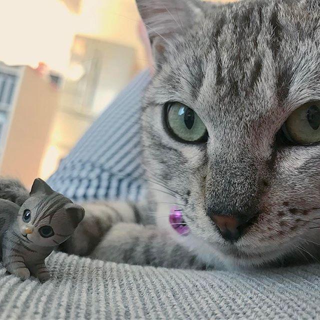 ん? これ、あたち?(=👁x👁=)ジー… (そのあと猫パンチ) * * * #岡山#猫#ネコ#ねこ#ねこ部#雑種#雑種猫#保護猫#猫ちゃん#ベンガル#甘えんぼ猫#甘えん坊#甘えん坊猫#ベンガル猫#子猫#こねこ#こねこ部#グレー#愛猫#きじとら#キジトラ#キジトラ部#猫好き#かわいい#可愛い#phot#cat#instacat#kitty