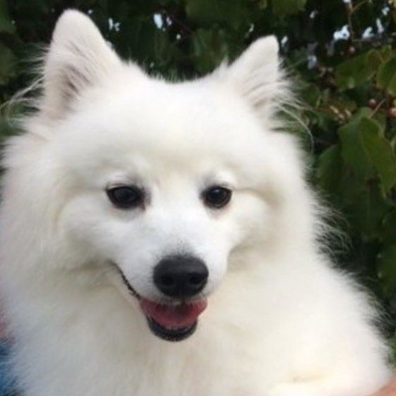 Look! It's Annie our beautiful fluffy new doggo. She's a full bred Japanese Spitz and so cute and happy. We got her from the RSPCA this afternoon and they were SO lovely and great our there.  @rspca_act Just in time for the @rspcamillionpawswalk coming up in May!