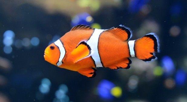 Los peces payaso, como Nemo, nadan enormes distancias cuando son bebés