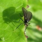 Plagas: Mosca de la humedad o del mantillo