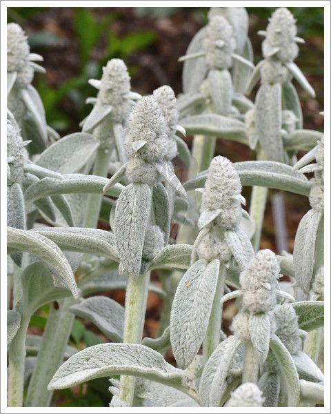 10,70  Czyściec wełnisty 'Cotton Boll' / Stachys byzantina  Wszystkie gatunki preferują przepuszczalne, przeciętne gleby w pełnym słońcu dorastający do 30-45 cm   wysokości i szerokości 60 cm. Ok 3 zł w zielonych progach