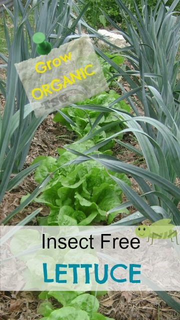 Grow The Best Organic Lettuce - diversity within the beds (plant w/herbs, garlic, onions, etc.), also plant with a trap crop (radishes) that pests will attack those leaves instead (bonus - you still get radishes!)