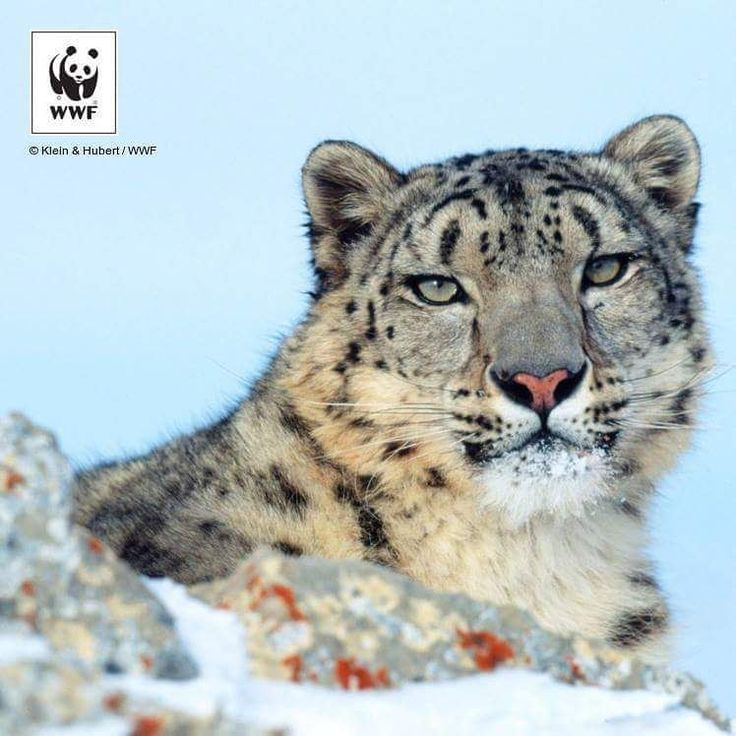 """21.2k Likes, 98 Comments - WWF International (@wwf) on Instagram: """"We're losing snow leopards at an alarming rate due to habitat destruction, retaliatory killing and…"""""""
