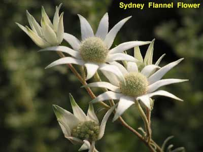 flannel flower bouquet - Google Search