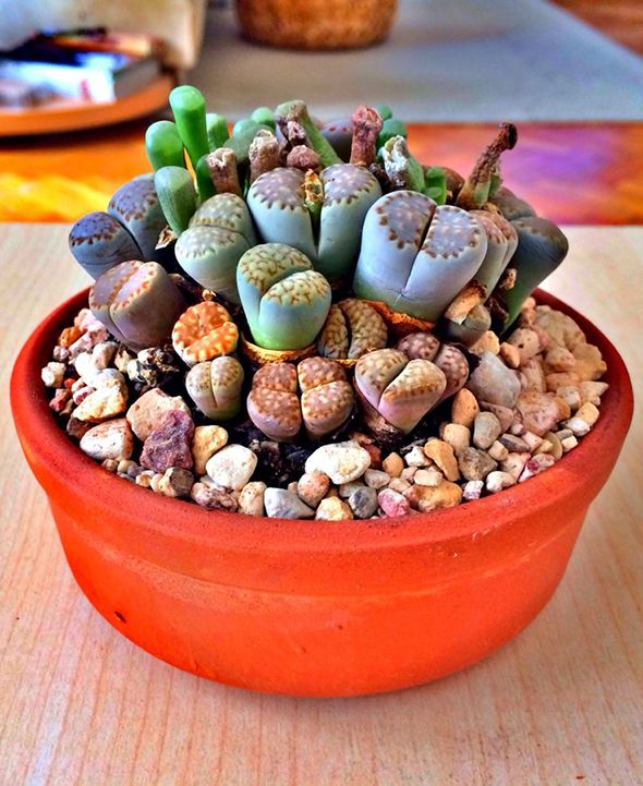 2- Lithops _ are truly fascinating little plants. Lithops are perfect for people to grow who don't have a lot of space because they are small and can grow really well in a pot on the windowsill. Lithops should be cared for like other succulents by watering sparingly during winter and increasing water during the summer months. Placing various pebbles and semi-precious stones around the plants in a pot can really bring out the colours of the plant and add interest.